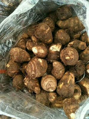 山东省临沂市沂水县芋头种子 2cm以上