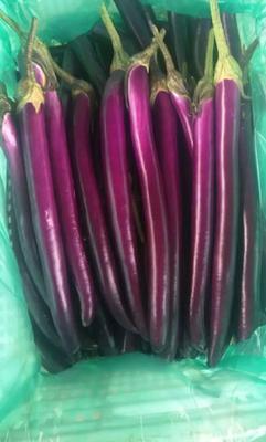 山东省临沂市兰陵县线茄 40cm以上 长茄