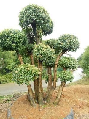 湖南省长沙市浏阳市造型杨梅