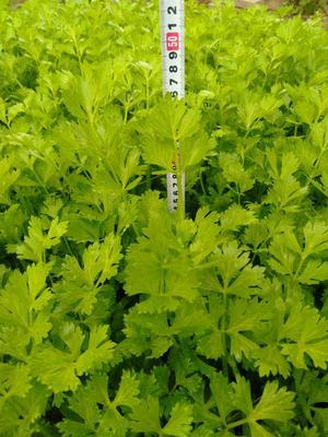 山东省聊城市东昌府区山芹 55~60cm 0.5斤以下 大棚种植