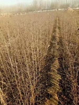 山西省运城市绛县杜梨种子