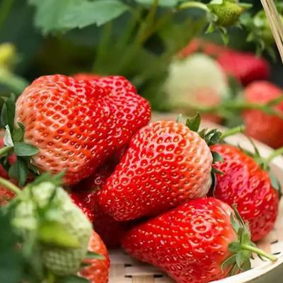 江苏省徐州市邳州市奶油草莓 30克以上