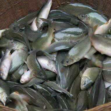 贵州省黔南布依族苗族自治州三都水族自治县禾花鱼 人工养殖 0.05公斤