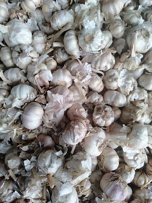 河南省开封市祥符区杂交大蒜 4.5cm以下 多瓣蒜