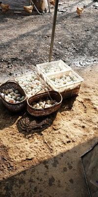 安徽省合肥市巢湖市土鸭蛋 食用 散装