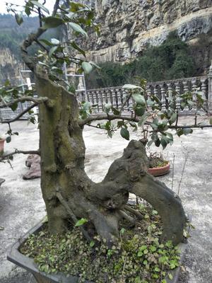 贵州省毕节市七星关区榆钱树树桩 金弹子2棵28000