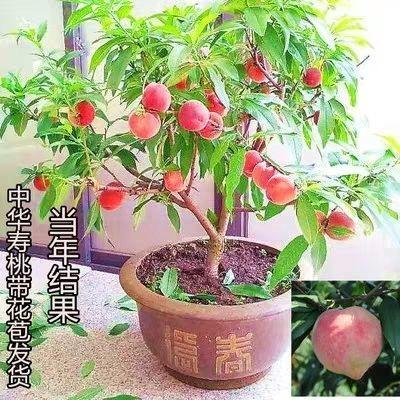 寿星桃观花盆栽 红花寿星桃树苗