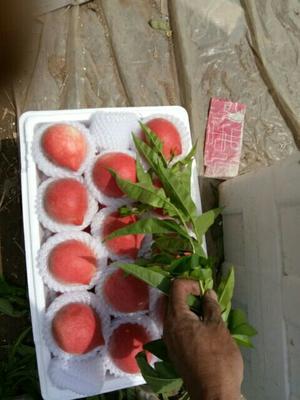 河北省唐山市乐亭县春雪桃  55mm以上 3 - 4两 春雪红梅油桃黄桃