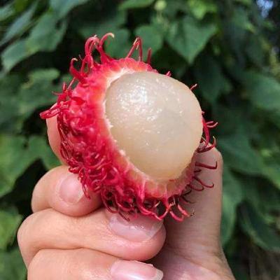 广西壮族自治区百色市靖西县泰国红毛丹 2cm以上