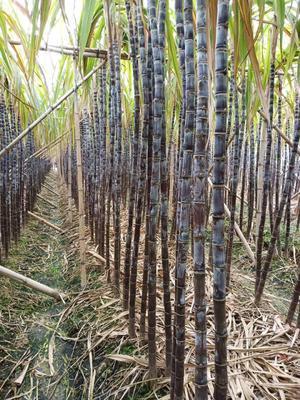 广东省广州市南沙区黑皮甘蔗 5 - 6cm 2 - 2.5m