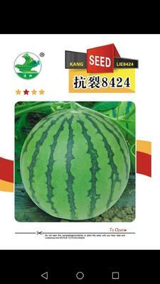 陕西省咸阳市杨陵区早佳8424西瓜种子 亲本(原种) ≥97%