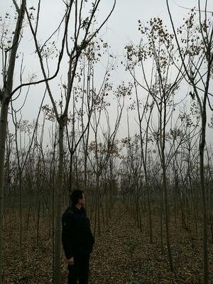 安徽省合肥市庐阳区栾树