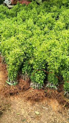 三华李苗 早熟和迟熟品种