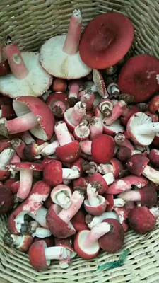 云南省西双版纳傣族自治州景洪市红菌 散装 1年以上