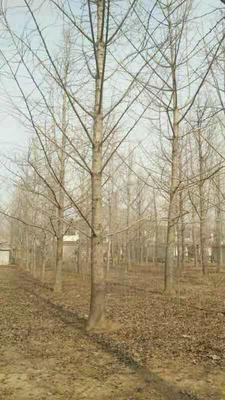 江苏省泰州市泰兴市银杏实生树