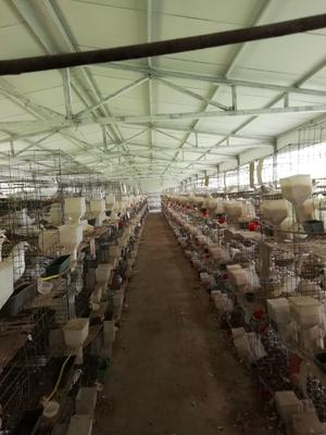 河南省周口市西华县白鸽蛋 食用 箱装