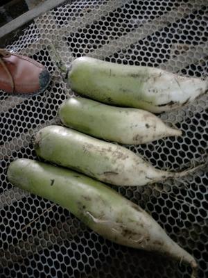 河南省开封市通许县青萝卜 2~2.5斤