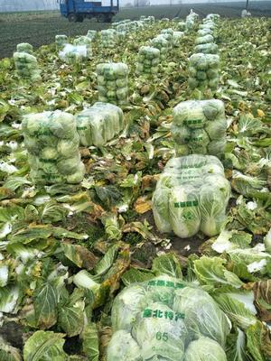 湖北省湖北省天门市黄心大白菜 3~6斤 净菜