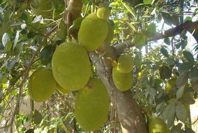 海南省海口市秀英区海南菠萝蜜  大果58~135个