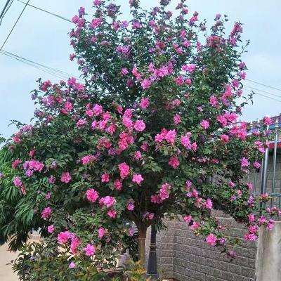 江苏省徐州市新沂市红花木槿树