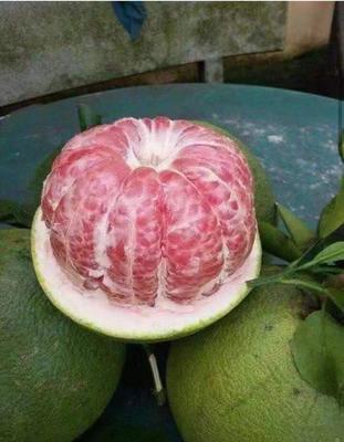 泰国青柚苗 带营养杯发货
