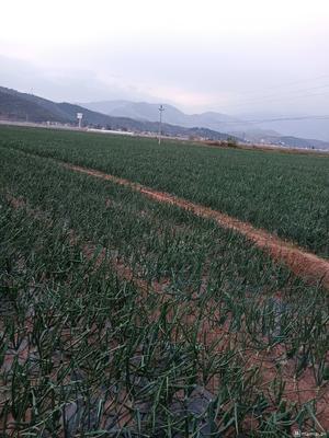 四川省凉山彝族自治州西昌市红皮洋葱 9cm以上