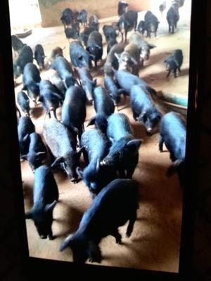 湖南省郴州市苏仙区藏香猪 60斤以上