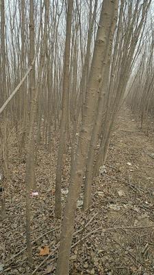 河北省石家庄市新华区老式白蜡 2.5~3米