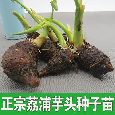 广西壮族自治区桂林市荔浦县芋头种子 1cm以上