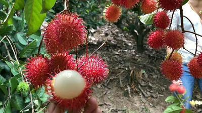 红毛丹树苗