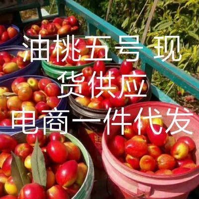 辽宁省大连市中山区中油5号油桃 1两以上 50mm以上