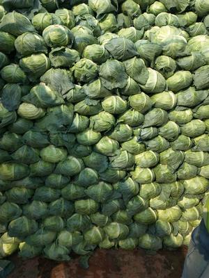 山东省青岛市平度市87-114白菜 6~10斤 净菜