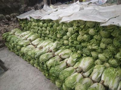 黑龙江省绥化市肇东市青杂三号白菜 3~6斤 净菜