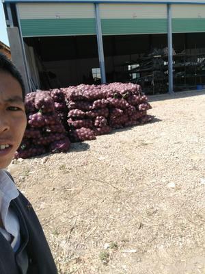 云南省红河哈尼族彝族自治州建水县红皮洋葱 7cm以下