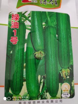 江苏省宿迁市沭阳县丝瓜种子  绿领:绿油一号