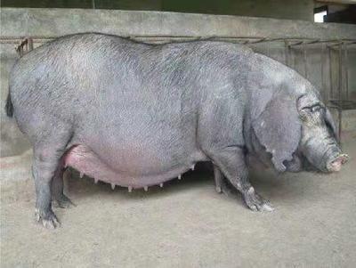 江苏省宿迁市沭阳县太湖母猪作种 20-25斤