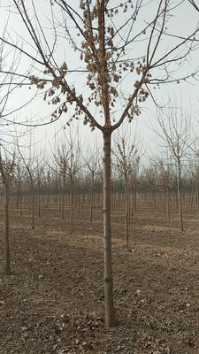 河北省保定市安国市花叶复叶槭