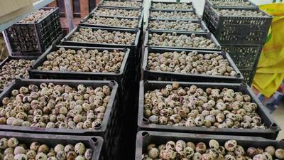 湖北省黄石市大冶市土鹌鹑蛋 食用 散装