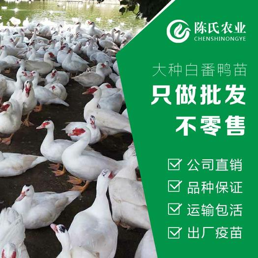大品种白火鸭苗 番鸭苗 西洋鸭苗 旱鸭苗孵化公司直销
