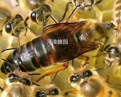 广东省广州市增城区中蜂 出售蜂王