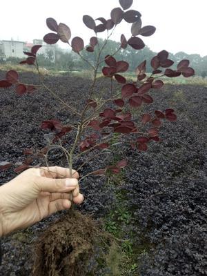 江西省九江市庐山区黑珍珠红继木