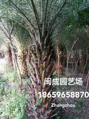 福建省漳州市漳浦县中东海枣 1-1.5米【闽成】