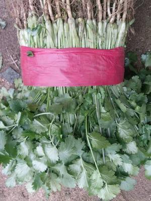 山东省泰安市新泰市大叶香菜 25~30cm