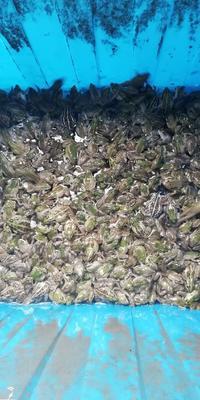 湖北省荆州市公安县黑斑蛙