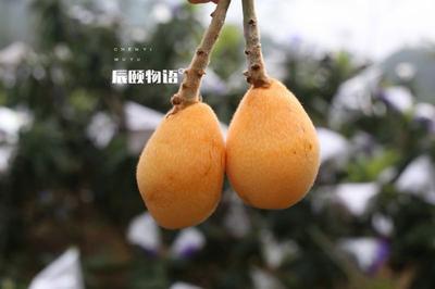 福建省漳州市云霄县云霄枇杷 0.4两以下