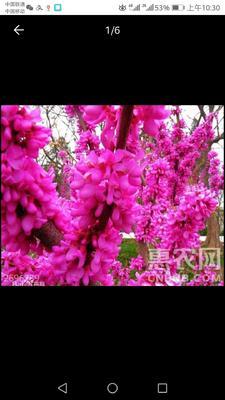 山东省临沂市平邑县红花紫荆  树苗