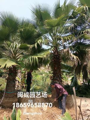 福建省漳州市漳浦县广东老人葵  4-4.5米【闽成】
