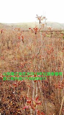 山东省潍坊市青州市红油香椿