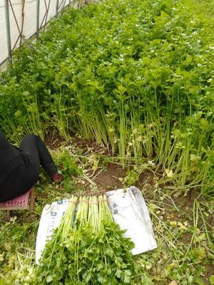 山东省聊城市东昌府区山芹 50~55cm 0.5斤以下 大棚种植