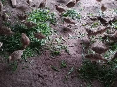 湖南省湘西土家族苗族自治州古丈县七彩山鸡 1斤以下
